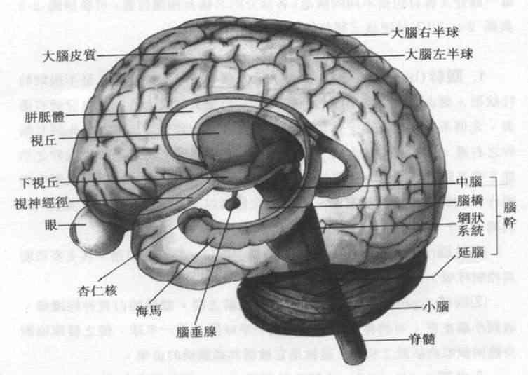 大脑(brain) 由结构来分类,大脑可分为下列各区域, 大脑皮质